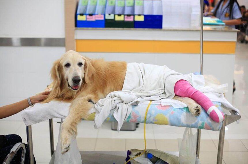 dog stretcher